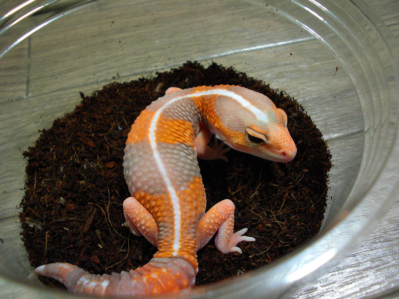 Red-Albino Fat-Tail Gecko